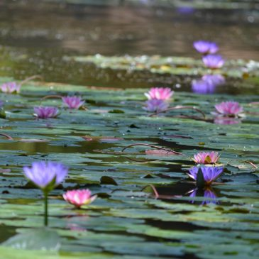Photo of a pond with pink water lillies on the surface